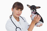 Concentrated vet holding a chihuahua
