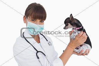 Attractive vet with protective mask holding a chihuahua