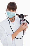 Happy vet with protective mask holding a chihuahua