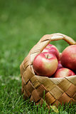 wicker basket full of gala apples