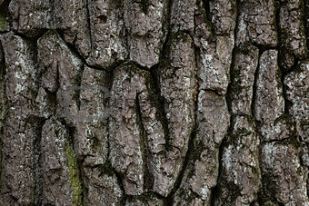 old oak bark texture