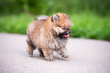 Small Pomeranian puppy walking