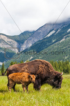 American Bison or Buffalo Mother & Calf