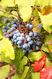 Oregon Grape Plant Closeup