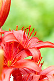 red lilly flowers with water drops