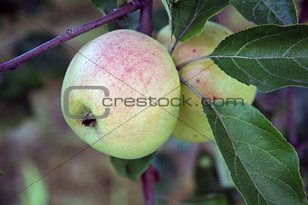 Apple on the apple tree