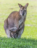 Mother wallaby with child