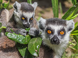 Ring-tailed lemur mother with child