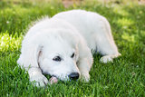 Lying young Golden Retriever