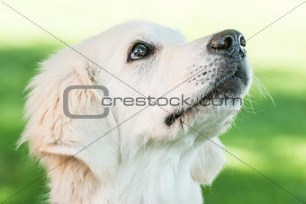 Portrait Golden Retriever