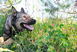 German Shepherd dog in the grass on a meadow