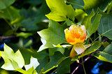 "Liriodendron tulipifera ""tulip"" flower"