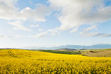 Yellow canola fields overlooking a valley