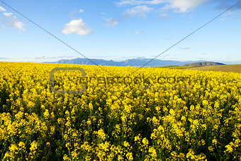 Fields of yellow canola flowers