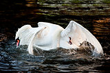 Mute swans display aggressive and tender behaviour during mating