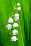 Beautiful lily-of-the-valley flower