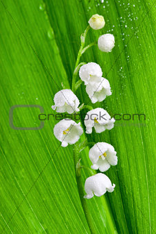 Beautiful lily-of-the-valley flower with water-drops