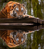 Beautiful heartwarming image of tiger laying with head on paws r