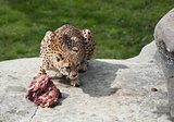 Cheetah eating raw meat on rocks