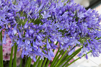 Agapanthus Flower Stalk Display at Florist