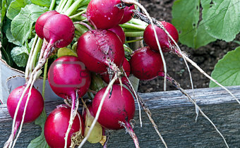 Fresh Picked Radish