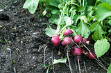 Radish on the Garden Bed