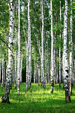Evening beautiful birch grove in summer