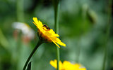 Heriades truncorum bee on a corn marigold