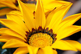 Gazania flower with bright yellow petals
