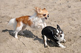 chihuahuas on the beach