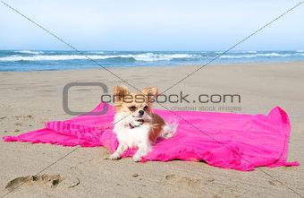 chihuahua on the beach