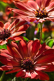 African daisy flowers in summer