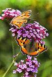 Small tortoiseshell or Aglais urticae on Verbena flowers