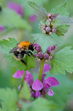 bumble-bee on the flowering plant