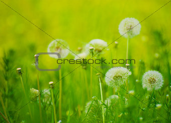 Dandelion Flowers  in a Green Meadow