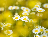 Beautiful Field of Sunny Chamomile Flowers