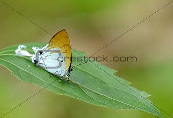 Fluffy Tit butterfly (Zeltus amasa)