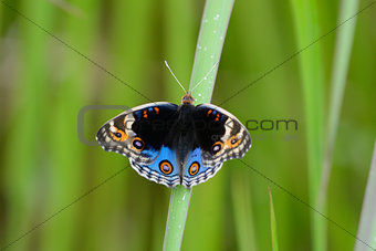 Blue Pansy butterfly (Junonia orithya)