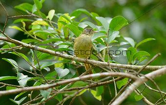 Grey-eyed Bulbul (Hypsipetes propinquus)