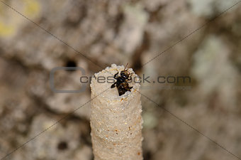 Stingless Bee (Trigona pagdeni)