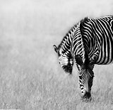 Two Zebras Feeding