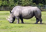 Wild rhino