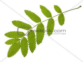 Green leafs macro