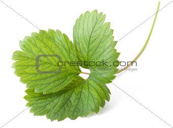 Green strawberry leaf