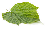 Green raspberry leaf
