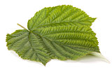 Raspberry green leaf