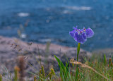 Close up of blue flower on the ocean's shore