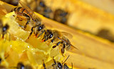 more bees on a honey cells