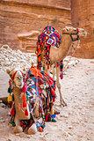 Camels in Petra