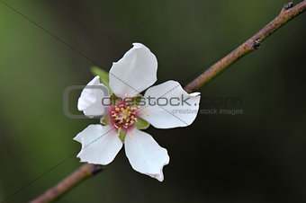 Almond blossoming